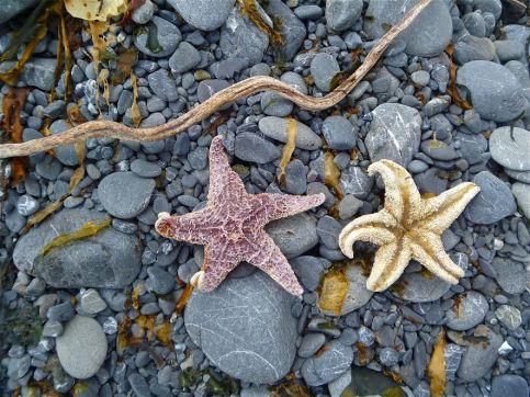 Terri.LostCoastStarfish