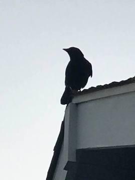 CrowWaitsForKaren